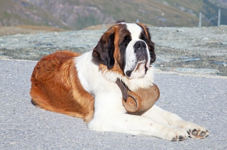 St. Bernard Dog with keg ready for rescue operation Stock Photo - 11393607