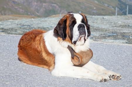 11393607-st-bernard-hond-met-vaatje-klaar-voor-reddingsactie.jpg?ver=6