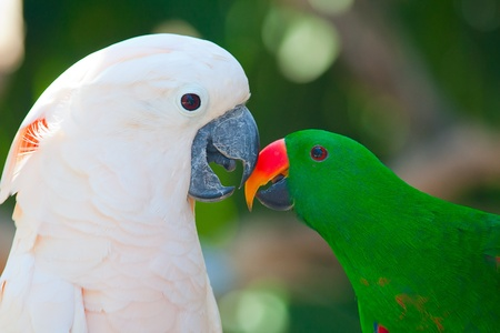 Birds in love: Cockatoo and lori parrots on the tree photo