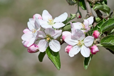 apple blossom: Blossoming apple garden in spring