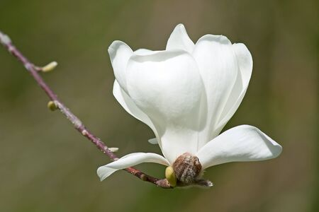 Magnificent magnolia flowers in the spring garden photo