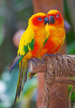 Colorful family of the Aratinga Solstitialis parrots