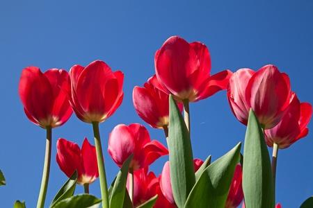 Fresh blooming tulips in the spring garden