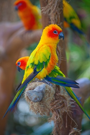Colorful family of the Aratinga Solstitialis parrots photo