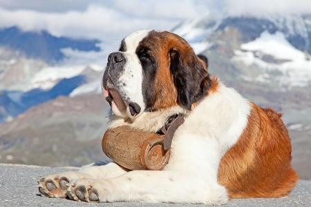 St. Bernard Dog with keg ready for rescue operation Stock Photo - 12887510