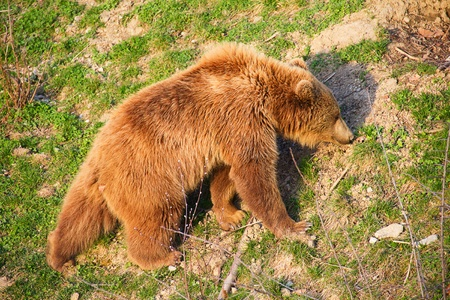 Young brown bear photo