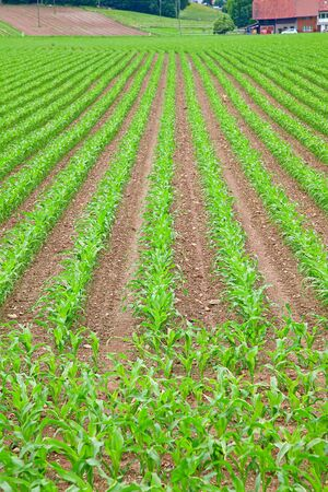 young green corn seedling on the field photo