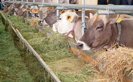 Las mejores vacas suizas presentaron en una exposición anual Foto de archivo - 13072630