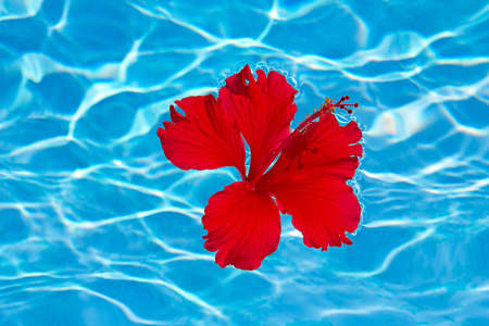 Red Hibiscus flower on the water Stock Photo - 13520144