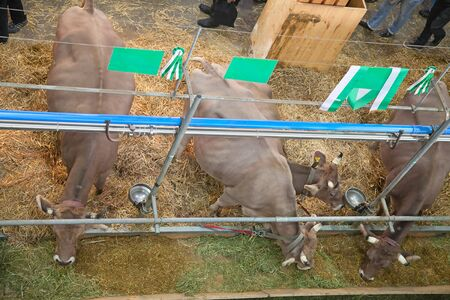 Best swiss cows presented on a yearly exhibition photo