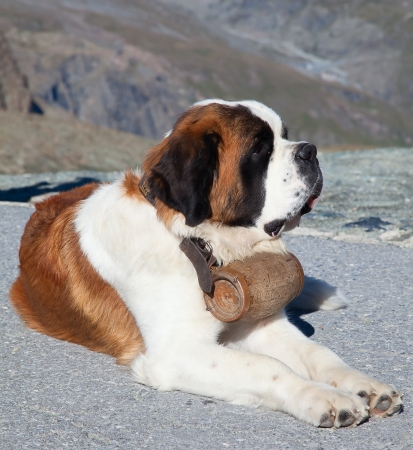 St. Bernard Dog with keg ready for rescue operation photo