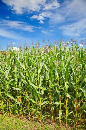 Corn field under blue sky with some fluffy clouds Stock Photo - 13814117