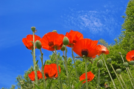 Bright red poppies in the garden photo