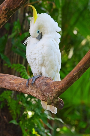 A sulphur-crested cockatoo on the tree photo