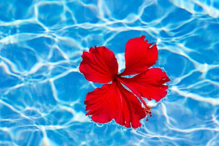 Red Hibiscus flower on the water photo