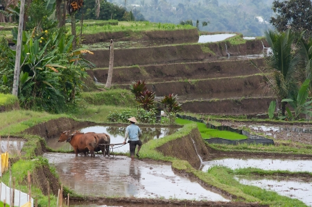 A Man working on a traditional balinese terraced rice field