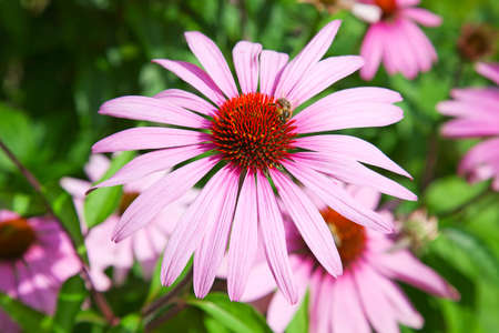 human immune system: Famous purple echinacea, natural medicine for human immune system