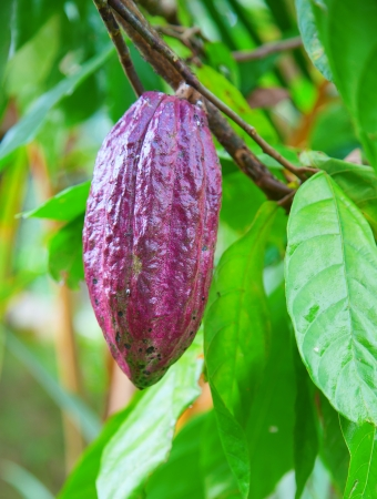 Cocoa tree with pods, Bali island, Indonesia Stock Photo