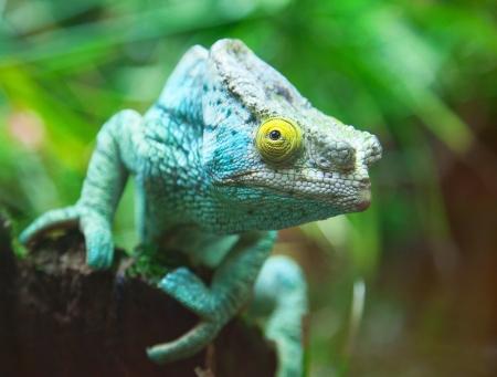 africa chameleon: Green chameleon on the green grass
