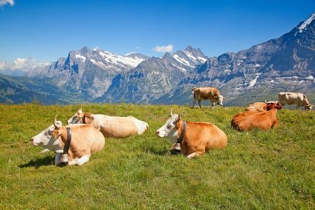 grazing cows in the swiss alps photo
