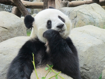 species: Giant panda bear eating bamboo leafs