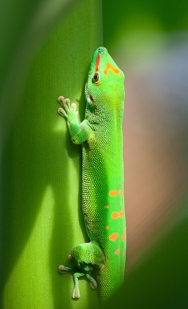 Green gecko on the roof (Zurich zoo) photo