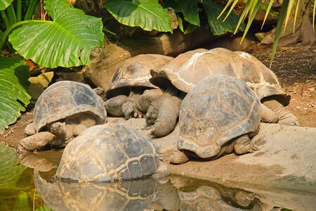 A group of Galapagos Giant Tortoises (Geochelone nigra)  photo