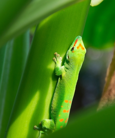 africa chameleon: Green gecko on the leaf  Stock Photo