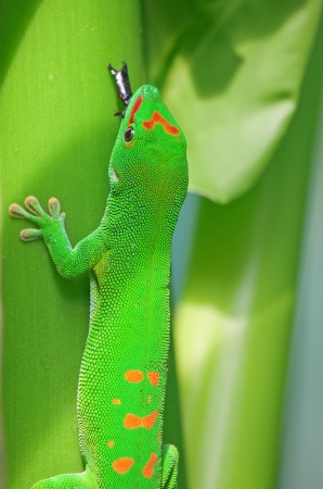 Green gecko on the leaf eating the bug photo