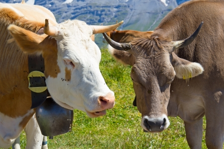 Swiss cows in the alps photo