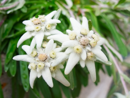 Famous flower Edelweiss (Leontopodium alpinum), symbol of alps photo