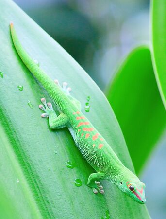 Green gecko on the palm leaf photo