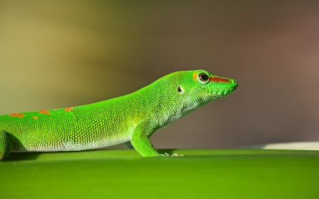 Green gecko on the leaf (Zurich zoo) photo