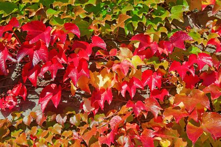 Colorful Autumn ivy leaves cover a stone wall photo
