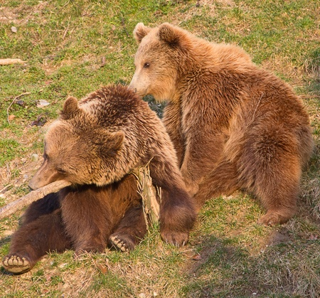 Brown bear and cub in Bern (Brown bears are symbol of the city) photo