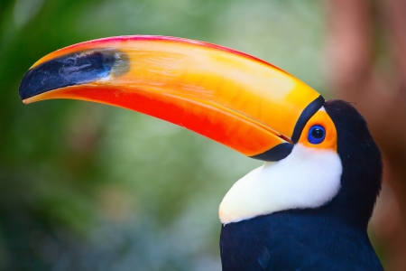 Close-up of the colorful toucan