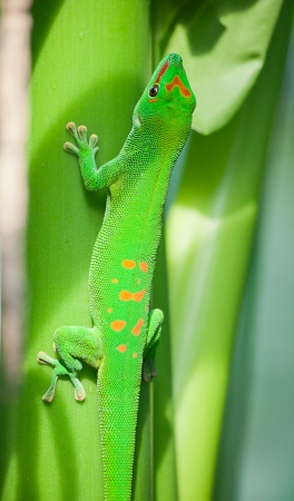 africa chameleon: Green gecko on the leaf (Zurich zoo)