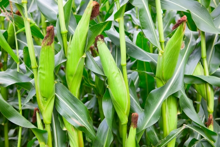 corn rows: Corn field with ripe ears