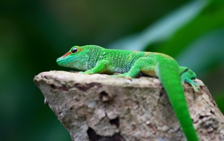 Green gecko on the tree photo