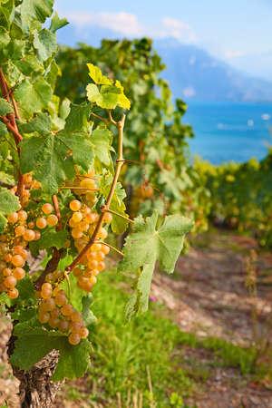 leman: Vineyards of the Lavaux region over lake Leman (lake of Geneva)
