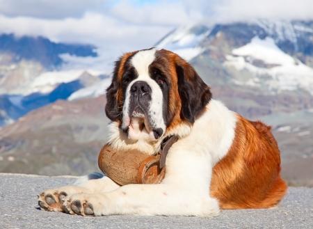 St. Bernard Hond met vaatje klaar voor reddingsactie Stockfoto
