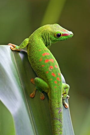 Green gecko on the leaf 스톡 콘텐츠