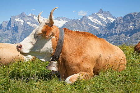 Swiss cow in the alps photo