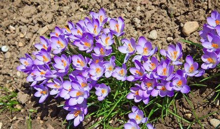 Crocuses first flowers of spring  photo