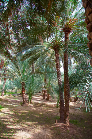 Palm garden in the Al Ain oasis