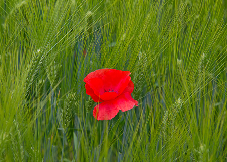 Poppy on the wheat field photo