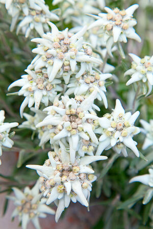 Famous flower Edelweiss (Leontopodium alpinum), symbol of alps photo
