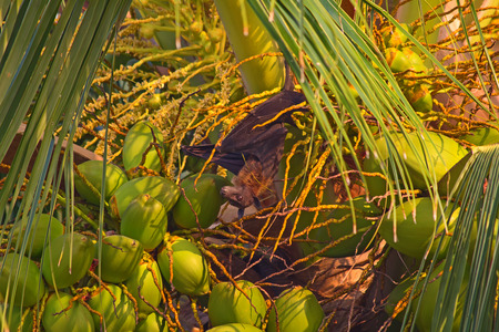pteropus: Flying fox (Pteropus) eating coconuts at the sunset