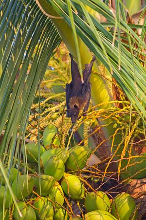 pteropus: Volare fox (Pteropus) noci di cocco mangiare al tramonto