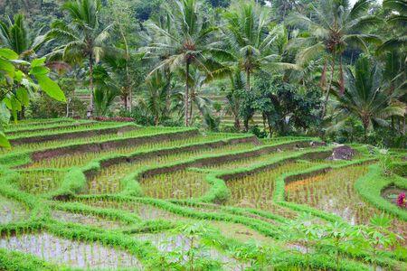 arroz: Los campos de arroz preparados para el arroz. Bali Indonesia